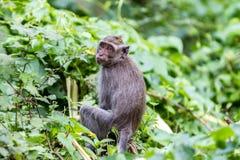 Monkey in natural background, Ubud forest, Bali Stock Photos