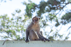 Monkey natural background Stock Photography