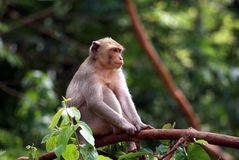 Monkey in the natural environment, Thailand. stock photography