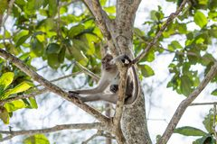 Monkey in natural habitat. Monkey on the Trees, monkey in natural habitat, rain forest and jungle royalty free stock image