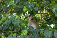 Monkey in natural habitat. Monkey on the Trees, monkey in natural habitat, rain forest and jungle stock images