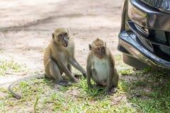 Monkey in natural habitat. Monkey on the Trees, monkey in natural habitat, rain forest and jungle stock photos