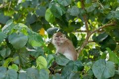 Monkey in natural habitat. Monkey on the Trees, monkey in natural habitat, rain forest and jungle royalty free stock photography