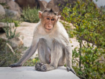 Monkey in nature. Melancholy monkey sits on a rock Royalty Free Stock Image