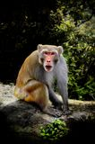 Monkey in the nature Royalty Free Stock Images