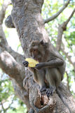 Monkey in nature eating fruit. Stock Photography