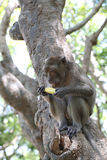 Monkey in nature eating fruit. Stock Image