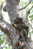Monkey in nature eating fruit. Royalty Free Stock Image