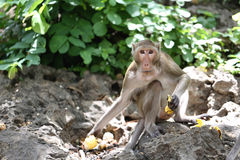 Monkey in nature Royalty Free Stock Images