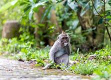 Monkey in nature, Ubud forest, Bali Stock Photography
