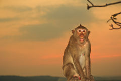 Monkey. A naughty monkey in the sunset, Thailand Stock Photos