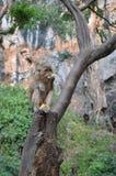 Monkey 4. Monkey near the beach in Ao Nang, Thailand Royalty Free Stock Image
