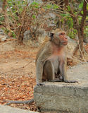 Monkey nearly entrance to Khao Luang cave Royalty Free Stock Photo
