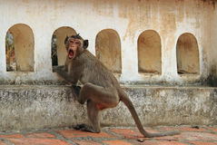 Monkey nearly entrance to Khao Luang cave Stock Images
