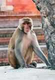 Monkey, Nepal Royalty Free Stock Photo