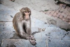 Monkey in Nepal Stock Photos