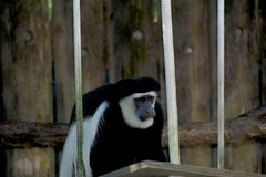 Monkey in New Orleans Zoo Royalty Free Stock Photography