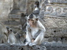 Monkey nibble fingers on the stone wall.  Royalty Free Stock Image