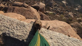 Monkey nibbles dress sitting on the edge of a cliff at sunrise stock footage