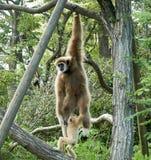 Monkey Royalty Free Stock Photography