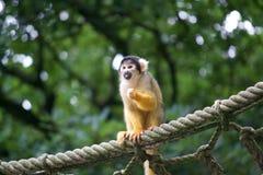 Monkey nr.1. Monkeys at Apenheul, Apeldoorn. verschillende soorten royalty free stock image