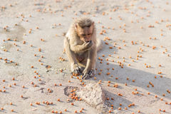 Monkey and nuts Stock Images