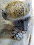Monkey nuts. Green vervet monkey in Gambia's Bijilo Forest Stock Images