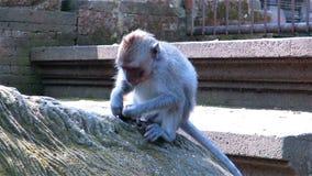 Monkey o assento em raizes da árvore, colheita e alimento comer vídeos de arquivo