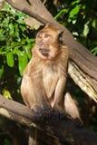 Monkey o assento na árvore Imagens de Stock