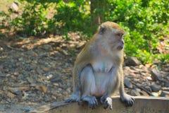 Monkey o assento na borda da lagoa Imagens de Stock Royalty Free