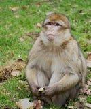 Monkey o assento na grama com fruto nas mãos e a vista para a frente Imagem de Stock Royalty Free