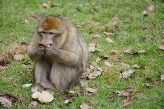 Monkey o assento na grama com fruto nas mãos e a vista para a frente Foto de Stock Royalty Free
