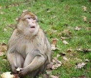 Monkey o assento na grama com fruto nas mãos e a vista para a frente Fotografia de Stock