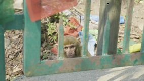 Monkey o bebê atrás da cerca do metal no templo de Swayambhunath Kathmandu, Nepal filme