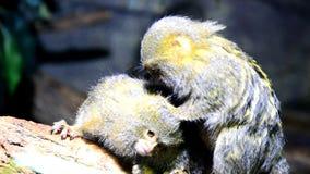 Monkey o Cebuella Pygmaea do sagui de pigmeu que remove as pulga de seu companheiro vídeos de arquivo