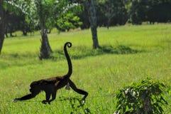 Monkey o passeio em uma cerca em Costa Rica em uma exploração agrícola foto de stock royalty free