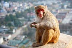 Monkey o templo Fotografia de Stock