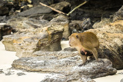 Monkey with offspring. Monkey with its offspring on the belly aware of his surroundings Stock Images