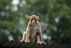 Free Monkey On A Tin Roof Royalty Free Stock Images - 181363989