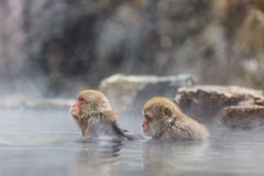 Monkey in an onsen. Two monkeys relaxing in an onsen in Japan royalty free stock photography