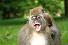 Monkey open his mouth Royalty Free Stock Image