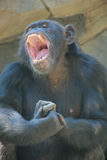Monkey with open mouth Stock Images