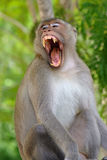 Monkey open mouth. In the jungle Stock Image
