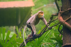 Monkey with orange face, Douc Langur Royalty Free Stock Images