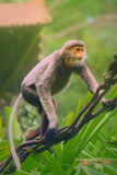 Monkey with orange face, Douc Langur Stock Image
