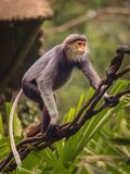 Monkey with orange face, Douc Langur Royalty Free Stock Photography