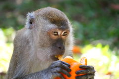 Monkey and orange Stock Photography