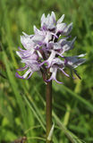 Monkey Orchid Royalty Free Stock Images