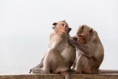 Monkey os pares que sentam-se no concreto e apaixonado, sentindo no amor Imagens de Stock Royalty Free