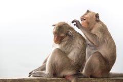 Monkey os pares que sentam-se no concreto e apaixonado, sentindo no amor Fotografia de Stock